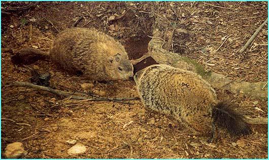 groundhogs_crop.jpg