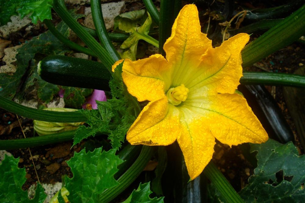 Cucurbita_pepo_Zucchini_flower_and_plant.jpg