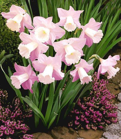 4ee583d0a3569909d40d215532a5fa49--pink-daffodils-daffodils-planting