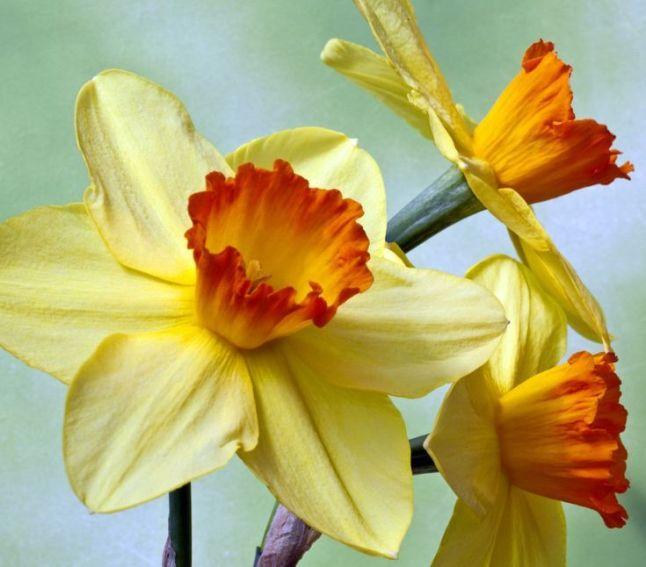 54dd8cb8abc9dd884fb2909cec1f3b62--daffodils