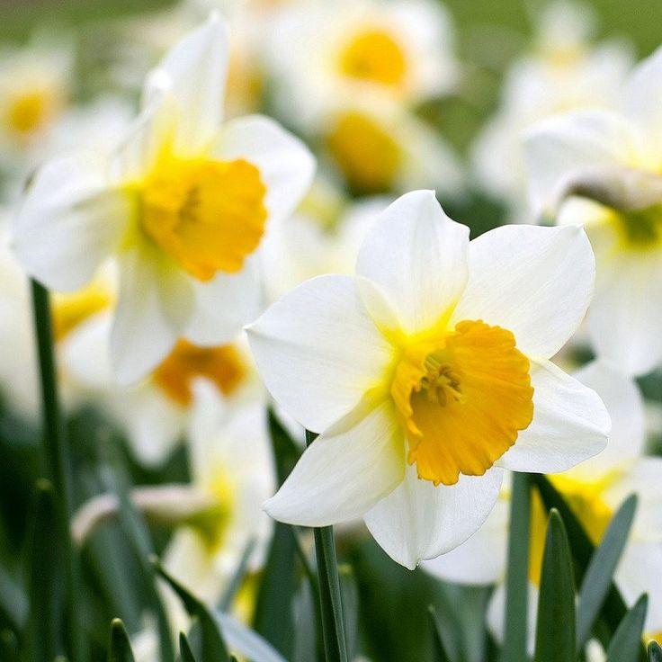 594430e6d36b176ac47c0b8fed02d08f--daffodils-ice