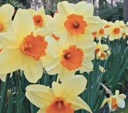 75bd2869a59e8ba3c6a209d3e49d47a5--front-gardens-daffodils