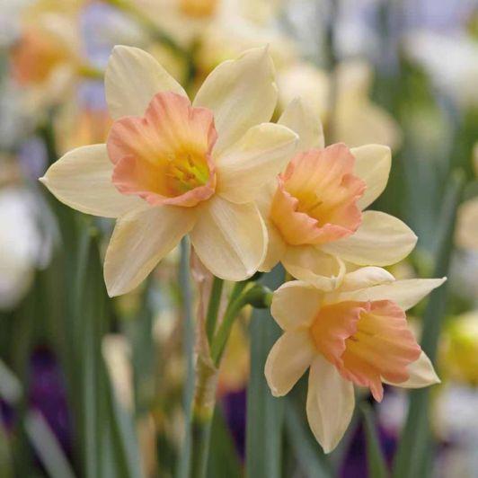 8977512d79f6b1864335203116a4f236--daffodil-bulbs-daffodils