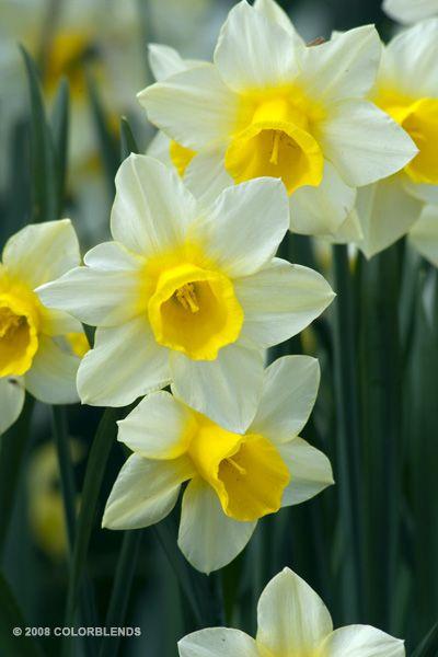b14852f401fca560356eab69bdb1f368--daffodil-bulbs-daffodils